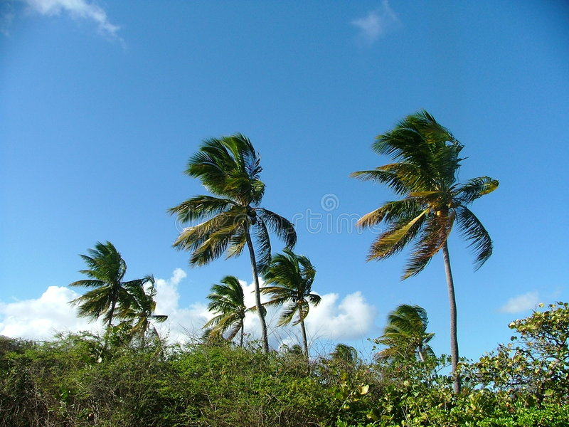 дуя пальмы стоковые фото