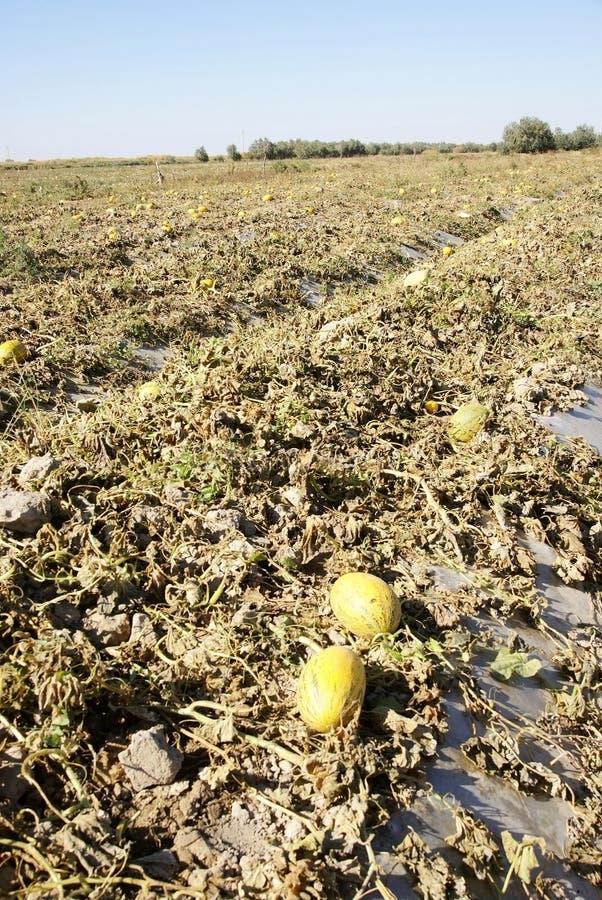дыня hami cropland стоковое фото