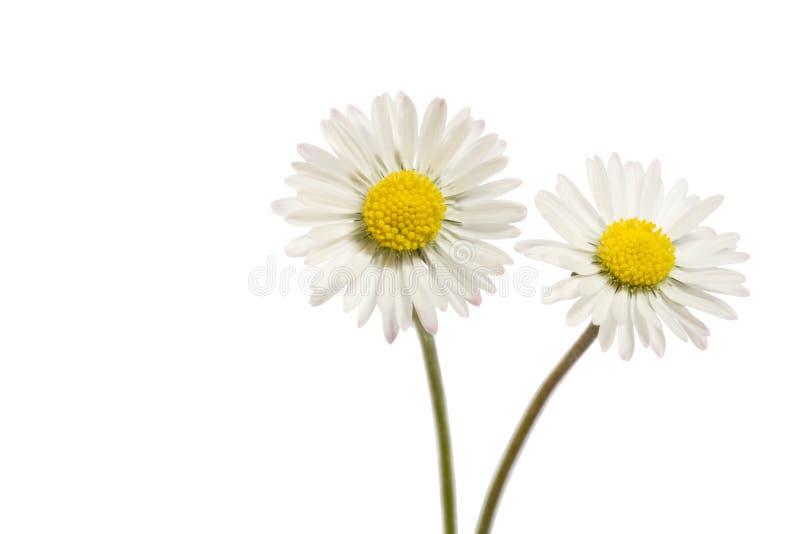 Дэйзи цветок, Беллис Перенис стоковые фотографии rf
