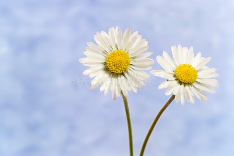 Дэйзи цветок, Беллис Перенис стоковые изображения
