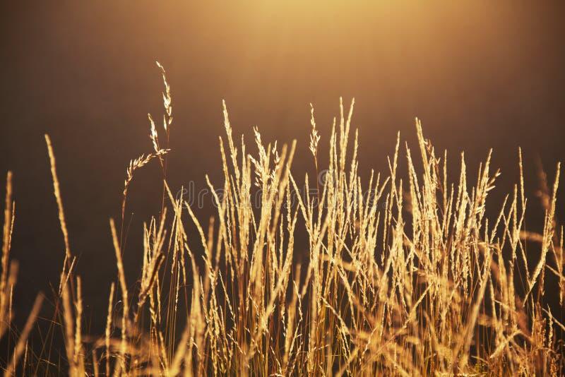 Длинная трава на заходе солнца стоковые фото