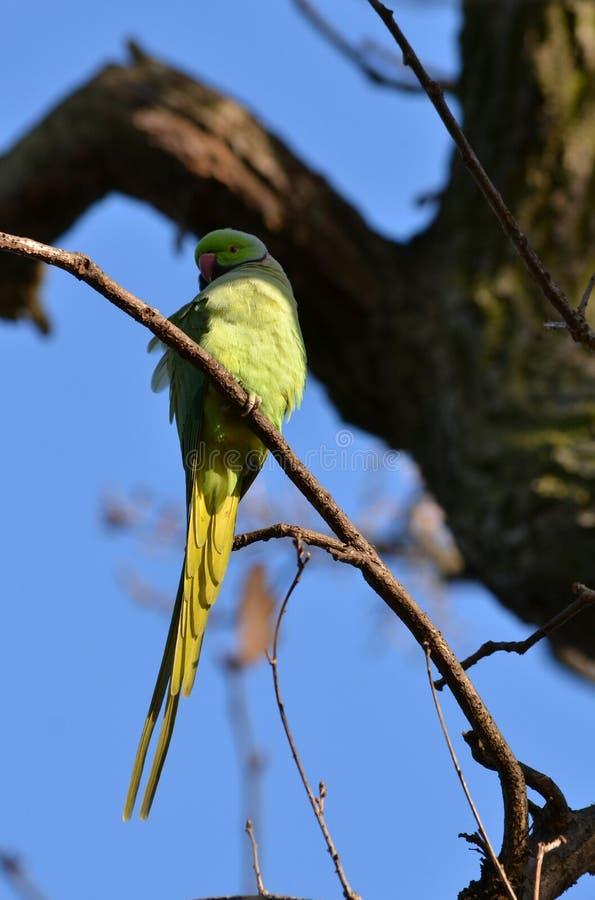 Длиннохвостый попугай Гайд-парк Лондон стоковая фотография rf