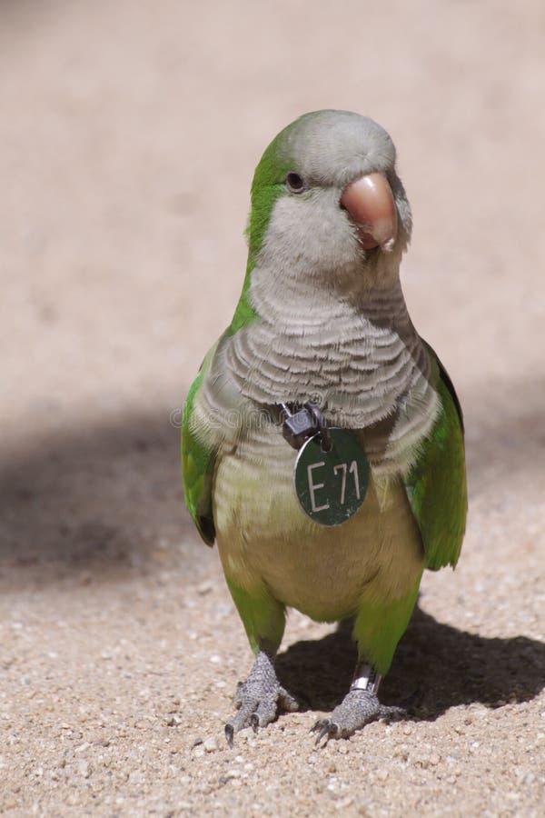 Длиннохвостый попугай монаха стоковое изображение rf