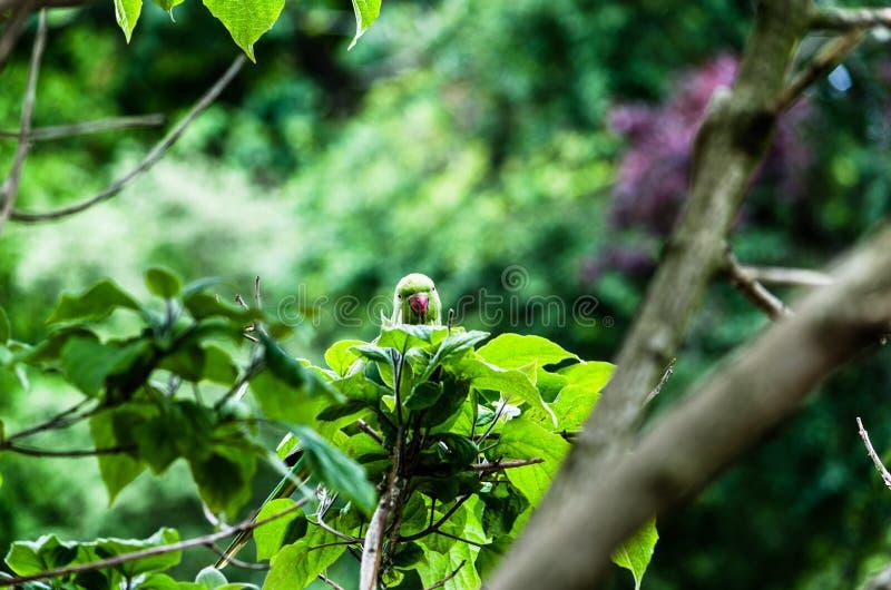 Длиннохвостый попугай смотреть прищурясь среди листьев в красивой весне стоковые изображения