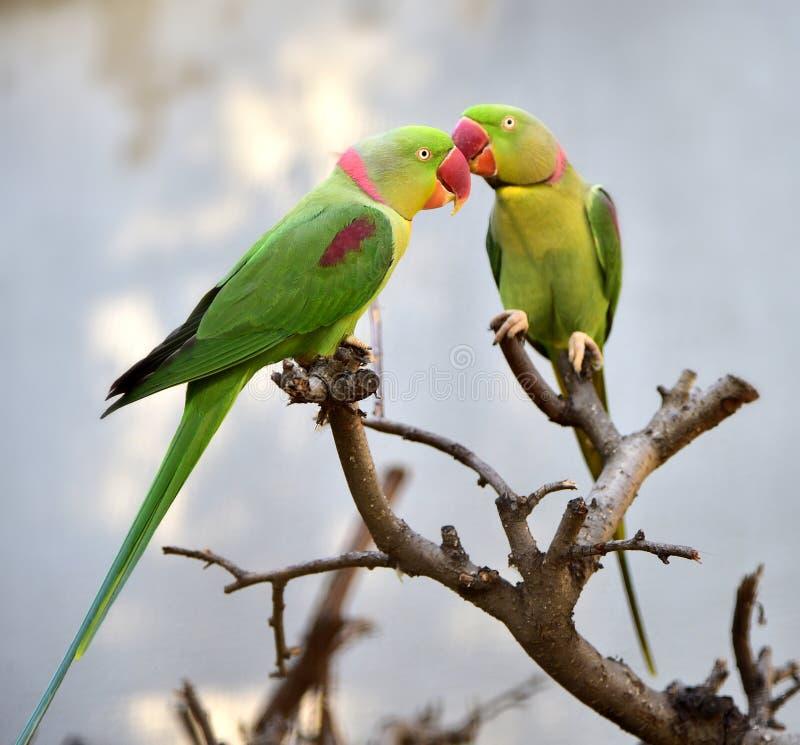 Длиннохвостый попугай Alexandeine стоковые изображения rf