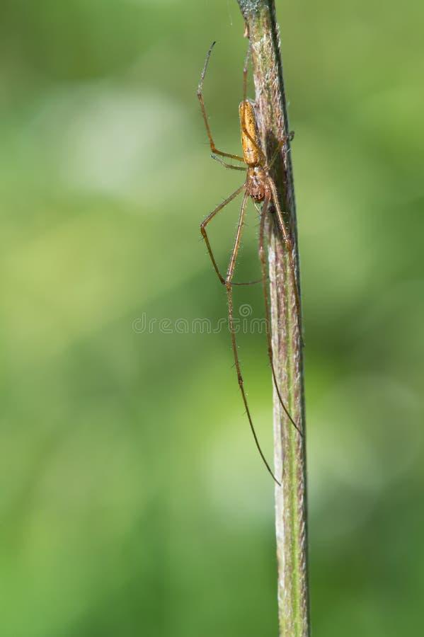 Длинный губочный паук (Tetragnatha Extensa) стоковое фото rf