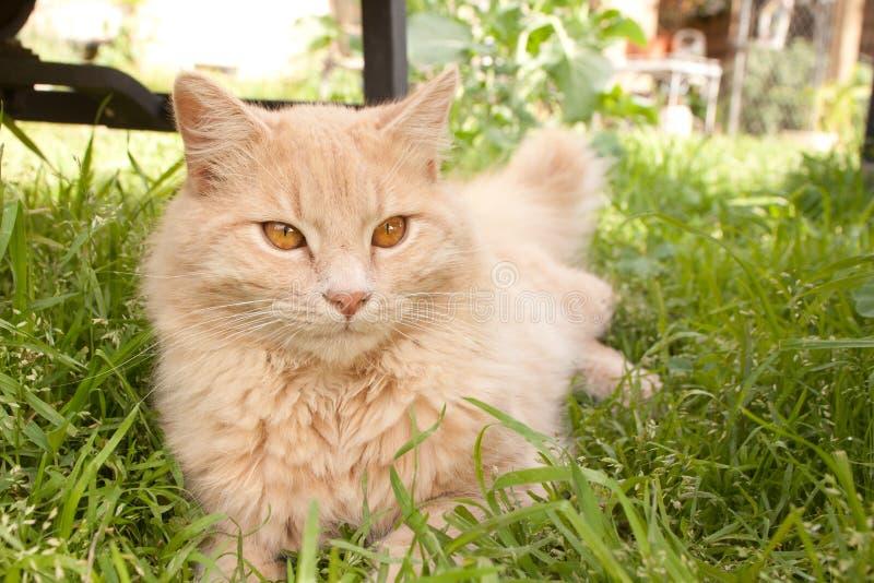 Длинный кот волос в траве стоковые изображения