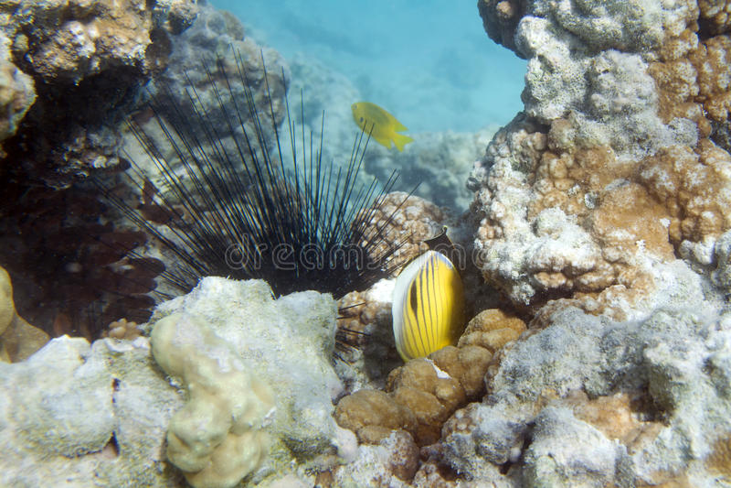 Длинный мальчишка моря позвоночника стоковые изображения rf