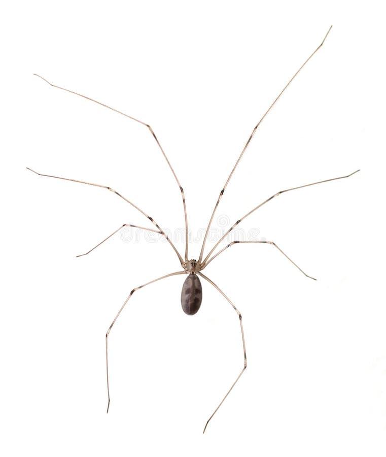 Длинный уплотненный изолированный паук погреба стоковые фото