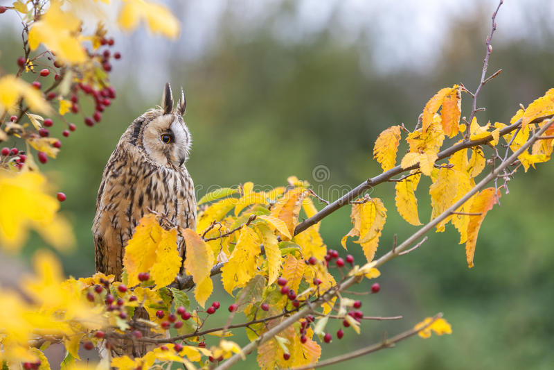 Длинный ушастый сыч сидя в дереве стоковые фото