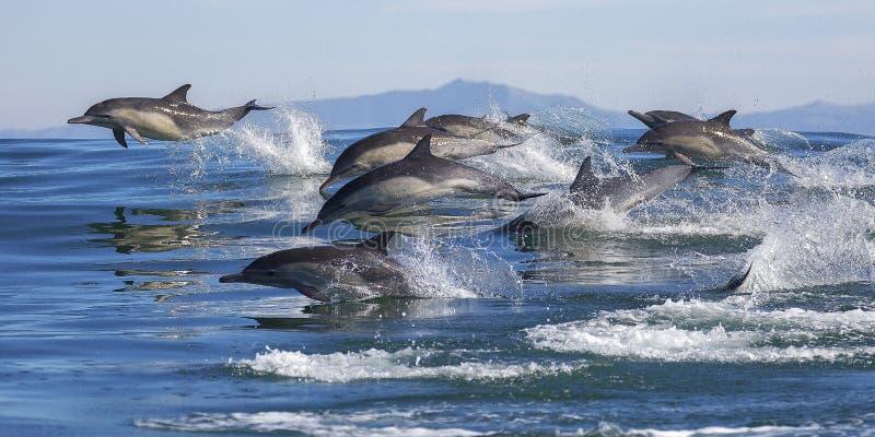 Длинн-клеванные общие дельфины
