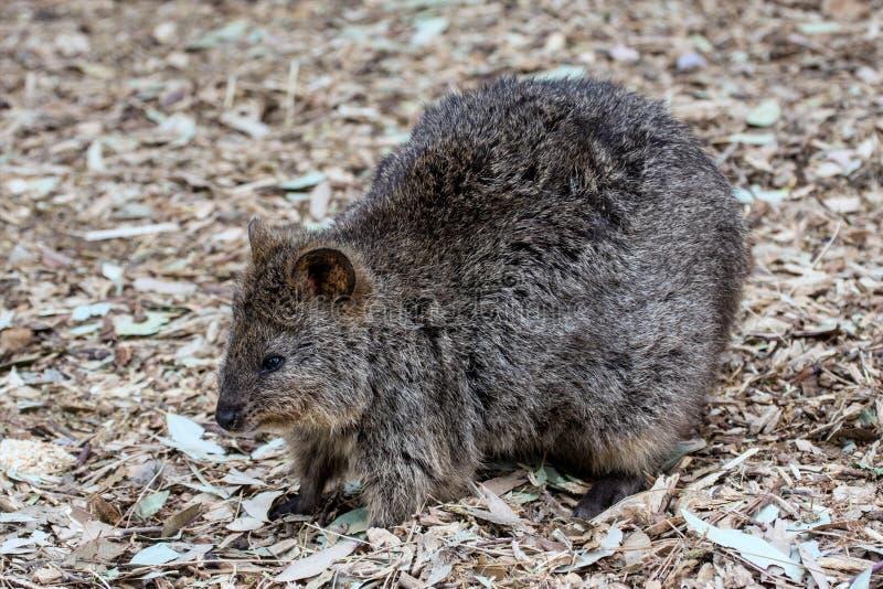 Длинн-обнюханный Potoroo, остров Австралия кенгуру стоковое фото