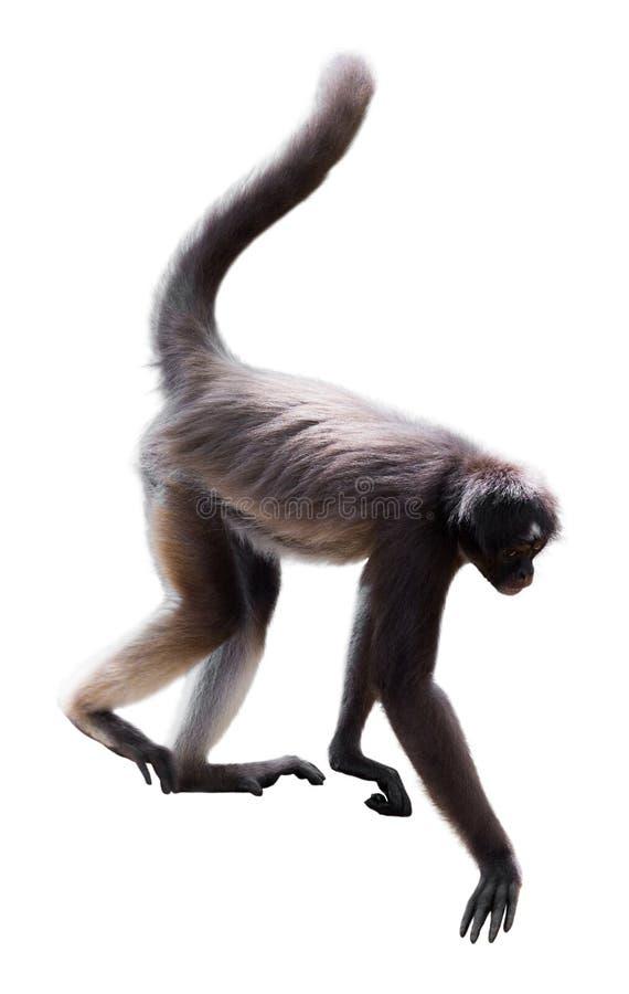 Длинн-с волосами обезьяна паука стоковые изображения rf