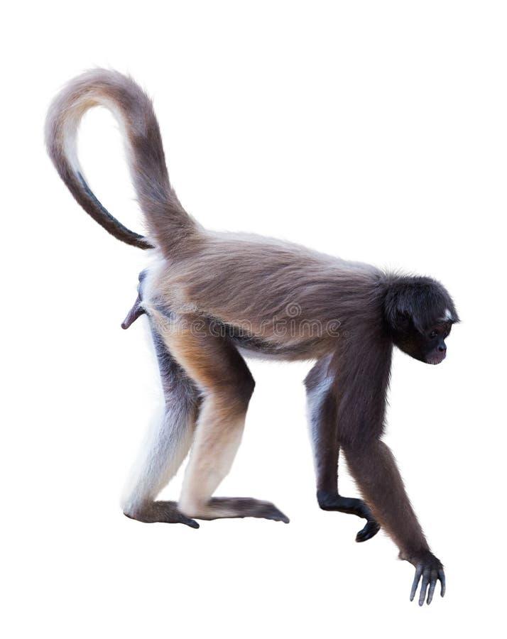 Длинн-с волосами обезьяна паука стоковое изображение