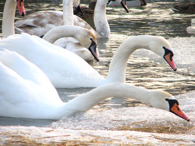 лебеди мочат белизну стоковое фото rf