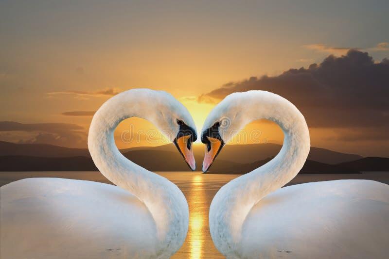 лебеди пар белые стоковая фотография
