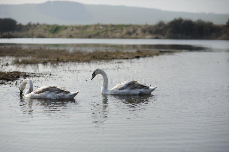 лебеди стоковые фотографии rf