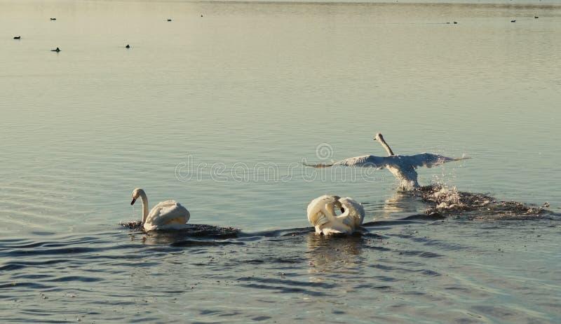 лебеди 3 стоковое фото
