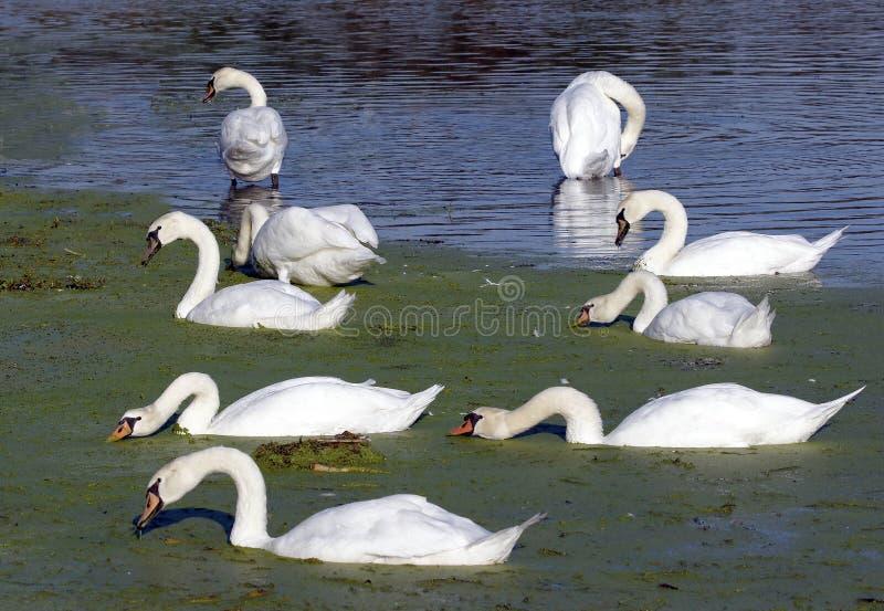 лебеди olor cygnus безгласные стоковые фото