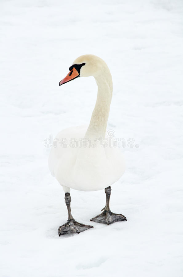 лебедь в снеге стоковое изображение