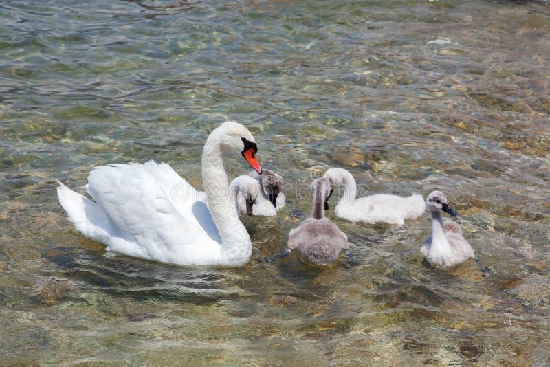 лебедь мати младенцев стоковое изображение