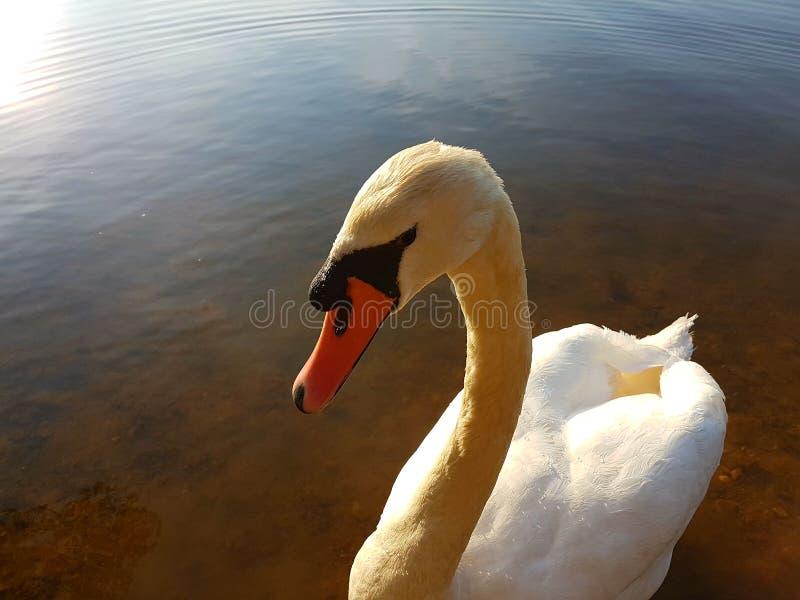 лебедь одичалый стоковые изображения