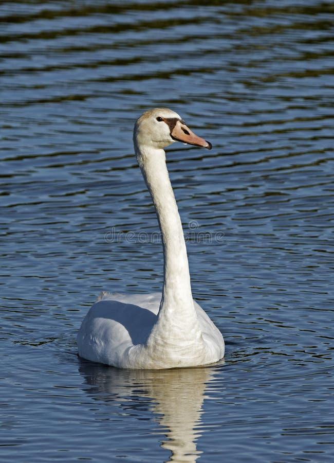 лебедь olor cygnus безгласный стоковые изображения rf