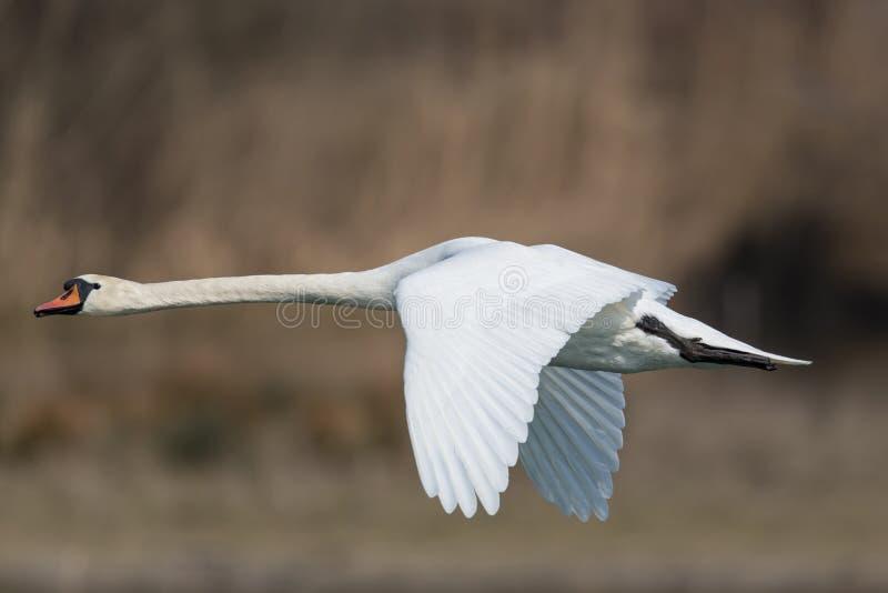 лебедь olor cygnus безгласный стоковое фото rf