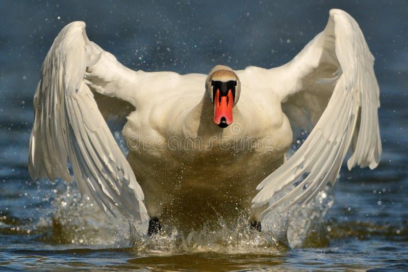 лебедь olor cygnus безгласный стоковая фотография rf