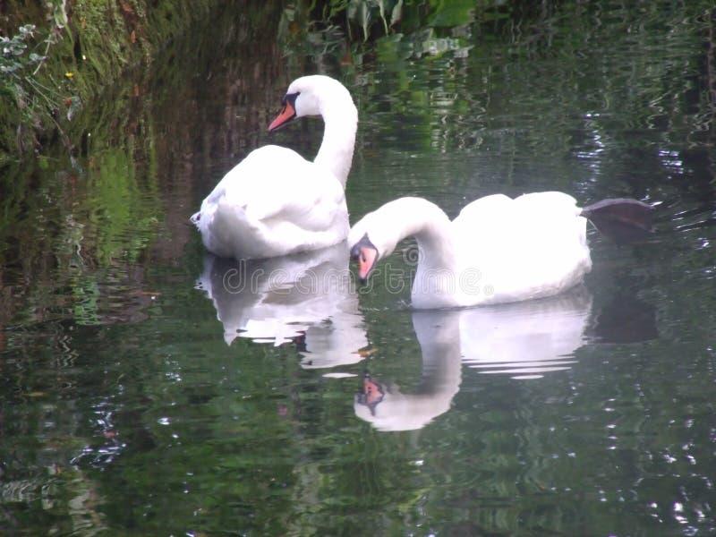 2 лебедя на озере стоковое фото rf