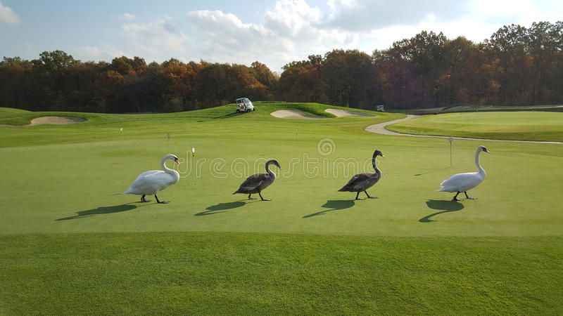 4 лебедя на поле для гольфа стоковое изображение