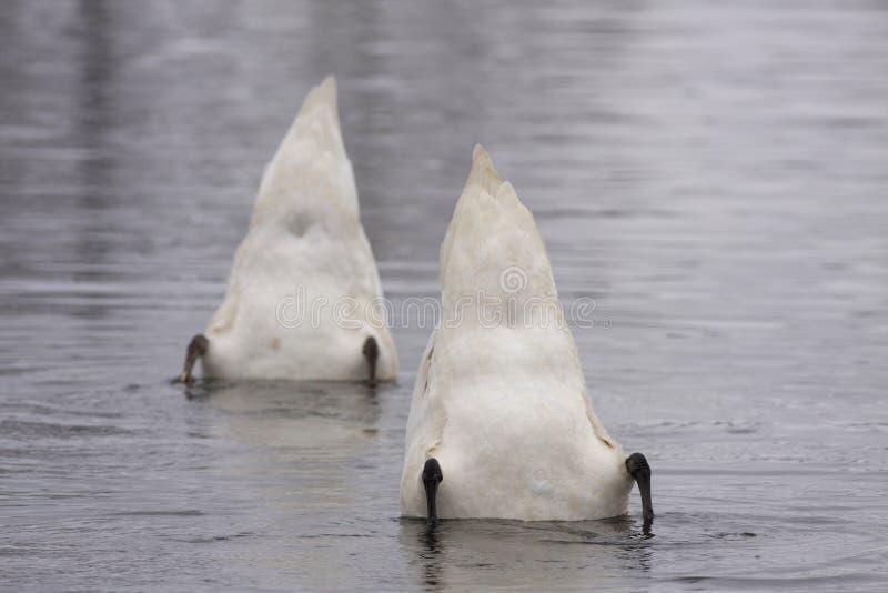 2 лебедя стоковое изображение rf