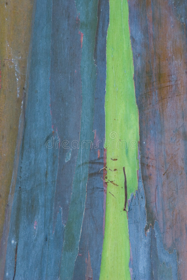 евкалипт 2 расшив стоковое фото