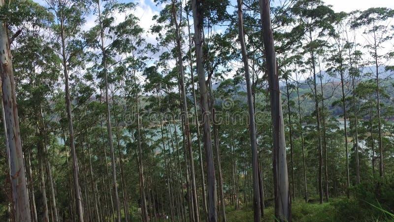 Евкалипт или эвкалипт в лесе Шри-Ланка сток-видео