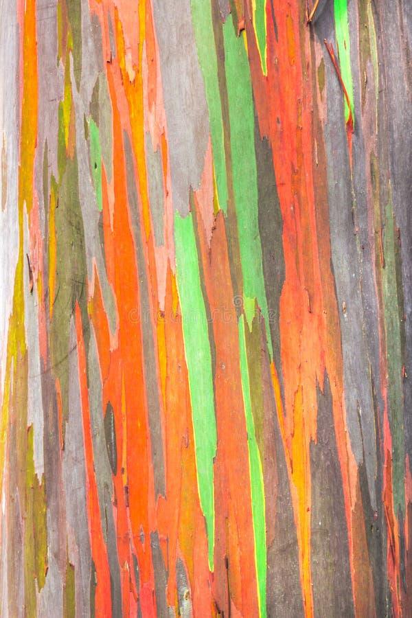 Евкалипт радуги стоковое фото rf