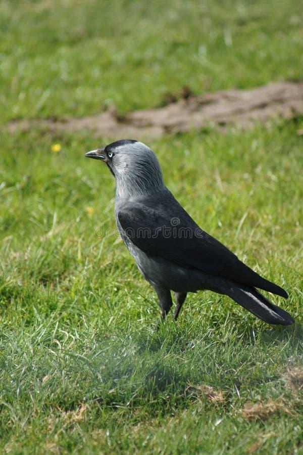 Евроазиатская галка - monedula Corvus стоковое фото rf