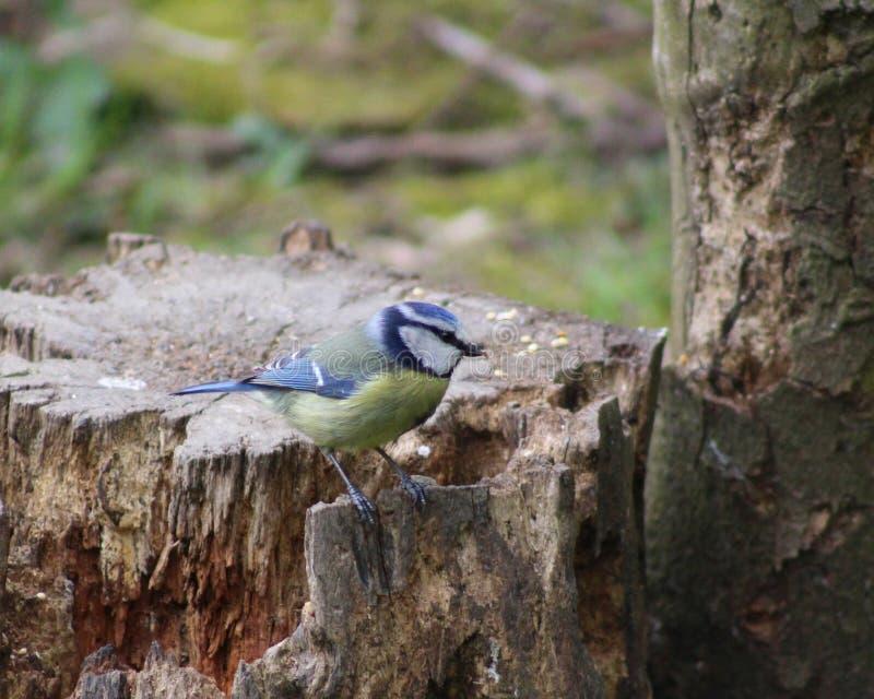 Евроазиатская голубая синица стоковые фото