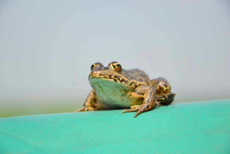 Евроазиатская лягушка болота стоковые фотографии rf