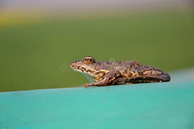 Евроазиатская лягушка болота стоковые изображения rf