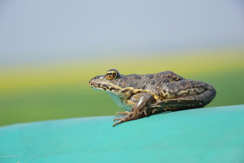 Евроазиатская лягушка болота стоковое фото