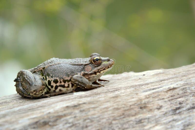Евроазиатская лягушка болота стоковые изображения