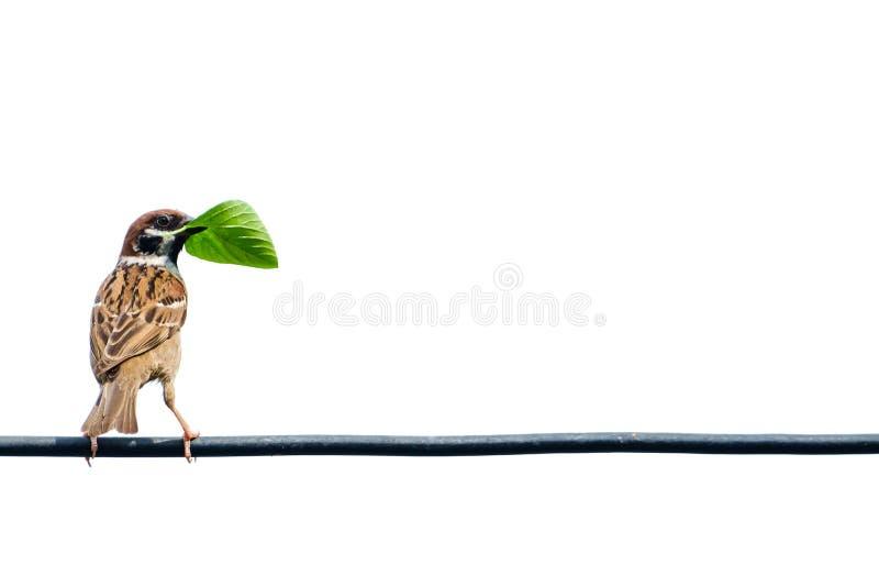 Евроазиатский воробей дерева, птица, на проводе стоковое изображение rf