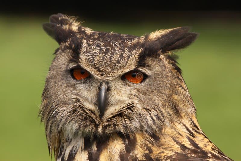 Евроазиатский сыч орла смотря вас стоковое изображение