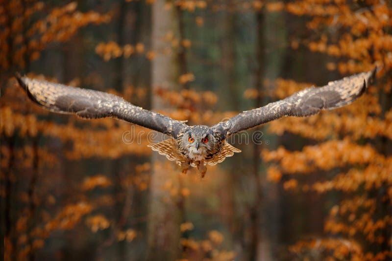 Евроазиатский сыч орла, bubo Bubo, с открытыми крыльями в полете, среда обитания леса в предпосылке, оранжевых деревьях осени Сце стоковое фото rf