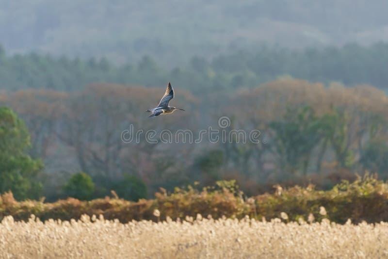 Евроазиатский Curlew ( Numenius arquata) , принятый в Великобританию стоковые фотографии rf