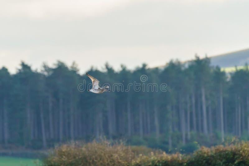 Евроазиатский Curlew ( Numenius arquata) , принятый в Великобританию стоковые изображения