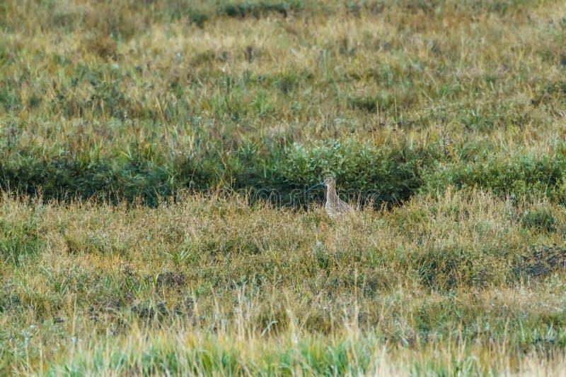 Евроазиатский Curlew ( Numenius arquata) , принятый в Великобританию стоковая фотография rf