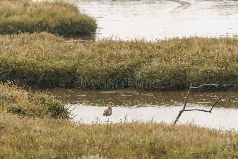 Евроазиатский Curlew ( Numenius arquata) , принятый в Великобританию стоковое фото rf
