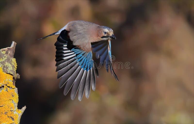 Евроазиатский jay принимая с strretched крыльями от ветви в осени стоковое фото