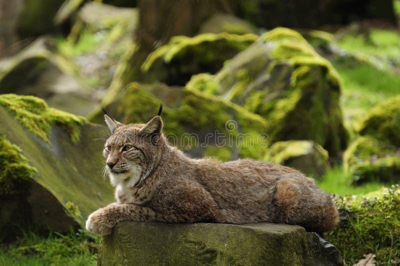 евроазиатский Lynx Стоковая Фотография RF